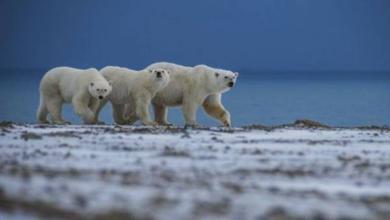 Фото Эксперт WWF рассказал о причинах нашествия медведей на Новой Земле
