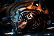 Фото Умер старейший тигр Приморья, утащивший собак у пограничников