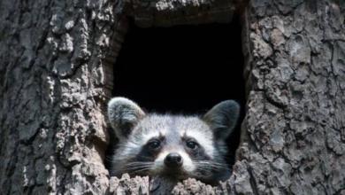 Photo of Из-за оттепели в Московском зоопарке проснулись еноты-полоскуны