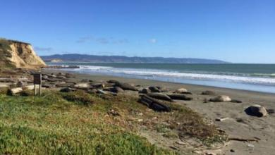 Photo of Тюлени захватили один из калифорнийских пляжей из-за «шатдауна»