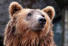 Фото Власти Приморья ищут дом для четырех бурых медведей