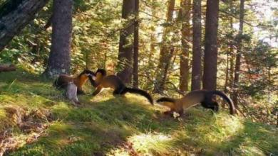 Фото Ученые в Приморье впервые сняли кадры из жизни семьи харзы в дикой природе