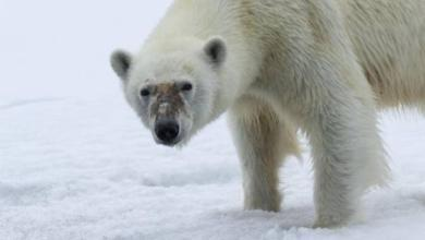 Фото Ученые чипировали белых медведей на архипелаге Новая Земля