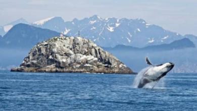 Фото В Атлантическом океане ученые обнаружили детенышей вымирающего вида китов
