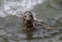 Фото В Находке нашли покрытого угольной пылью детеныша тюленя