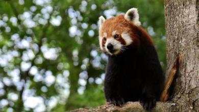 Фото Из французского зоопарка пропала редкая красная панда