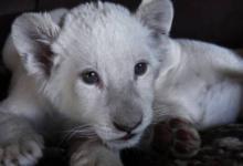 Фото В крымском сафари-парке родились редкие белые львята