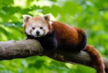 Фото Волонтеры за 2 часа нашли красную панду, пропавшую 3 марта в регионе Овернь