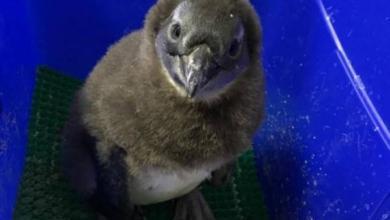 Фото В Московском зоопарке появился на свет птенец краснокнижного пингвина