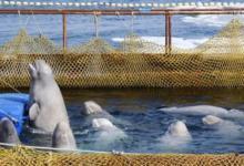 Фото Часть животных из «китовой тюрьмы» могут отправиться в океанариумы