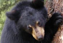 Фото В Приморье спасенного гималайского медвежонка выпустили в тайгу