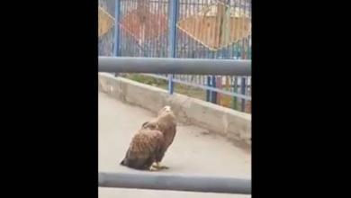Фото В Астрахани из-за выбежавшего на дорогу орлана образовалась пробка