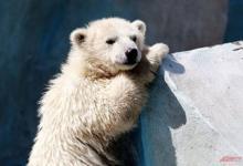 Photo of На Чукотке белого медвежонка-сироту вернули в дикую природу