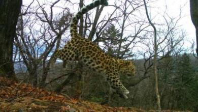 Фото В России увеличилась популяция дальневосточных леопардов
