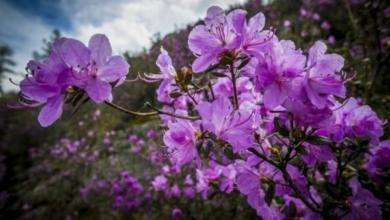 Photo of Цветение маральника. Как будут отмечать праздник на Алтае?