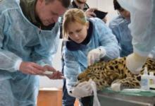 Фото В Приморье выздоравливающего леопарда выпустили в вольер