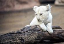 Фото В венгерском зоопарке родился белый львенок