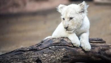 Photo of В венгерском зоопарке родился белый львенок