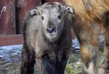Фото В Московском зоопарке родился детеныш сычуаньского такина