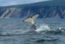 Фото Вторую партию косаток из «китовой тюрьмы» выпустят в море через две недели