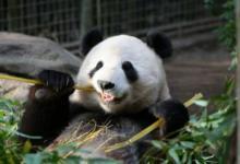 Фото Московский зоопарк не будет вводить должность «обнимателя панд»