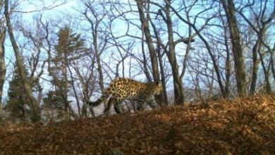 Фото Леопард-«крестница» Стивена Сигала принесла потомство в Приморье