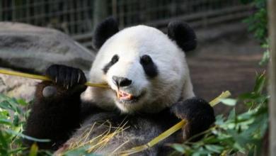 Фото В Московском зоопарке рассказали о самочувствии панд из Китая