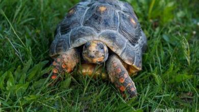 Фото Более четырех тысяч черепах пытались ввезти в Россию, выдавая их за капусту