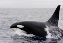 Фото В Приморье перенесли освобождение части косаток из «китовой тюрьмы»