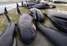 Фото Япония покинула Международную комиссию по промыслу китов
