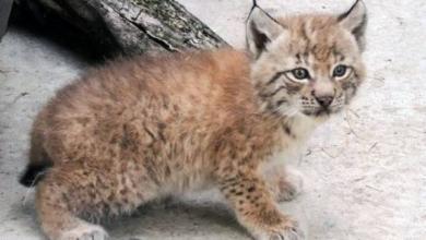Фото В Московском зоопарке появились на свет краснокнижные рысята