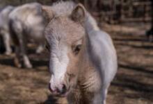 Фото В пензенском зоопарке маленький пони умер от переедания