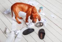Фото Изжога, тревога или тоска? Почему собака грызет вещи и как ее отучить
