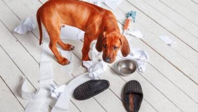 Photo of Изжога, тревога или тоска? Почему собака грызет вещи и как ее отучить