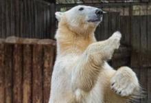 Фото Сотрудница Московского зоопарка поразила британцев, прогнав медведя веником