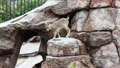 Фото В Московском зоопарке родился детеныш голубого барана