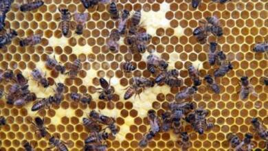 Фото Массовую гибель пчел могло вызвать применение фермерами китайских химикатов