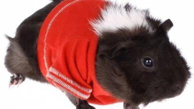 Фото Свитер для свинки, шафер для пса. 6 забавных новостей из мира животных