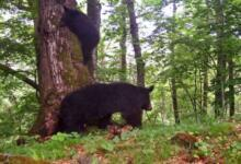 Photo of В Приморье забравшийся на дерево медвежонок чуть не упал на ученого