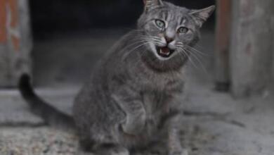 Photo of Как перевести с кошачьего языка на человеческий?
