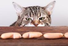 Фото Кошачье ожирение. Как правильно кормить домашних питомцев