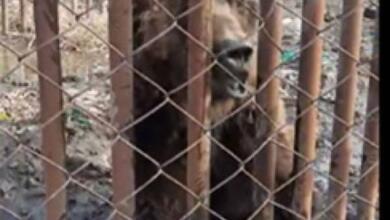 Фото В Ярославле таксисты спасли мужчину от медведя