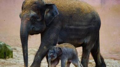 Photo of В Ботсване рассказали о загадочной смерти более чем 110 слонов