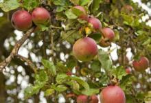 Фото В России с помощью волонтёров создадут фенологическую базу данных о яблонях