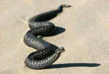 Photo of Зачем змея заползает в рот к человеку?