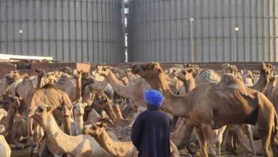 Фото «Купи себе Светлану с горбом!». Адский репортаж с рынка верблюдов в Египте